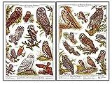 Owls Of North America Mini Poster and Identification Chart Combo Set - Artist: Karen Pidgeon.