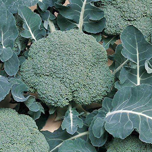 Suffolk Herbes - Calabrese Belstar F1 Organic - 30 graines
