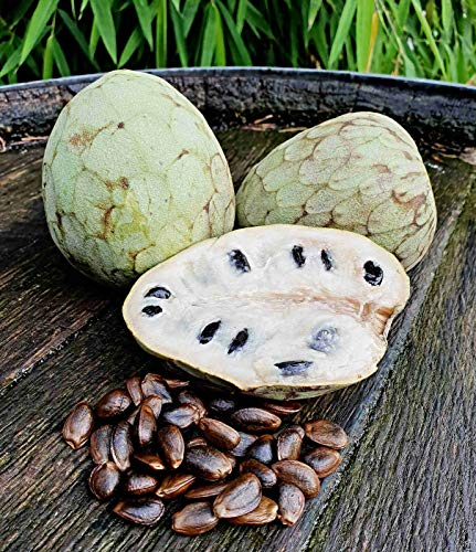 10 Cherimoya Samen, Annona cherimola, Zuckerapfel, Custard Apple, KEIMGETESTET