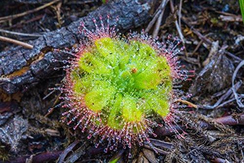 Drosera Burmanii 10 Samen,Fleischfressende Pflanze, Sonnentau
