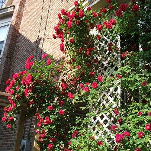 300/Sac de haute qualité d'escalade usine Polyantha Graines Rose bricolage jardin décoration plantes en pot Graines de fleurs de vente en gros