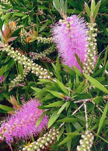 TROPICA - Callistemon citrinus - rose (Callistemon speciosus) - 200 graines- Australie