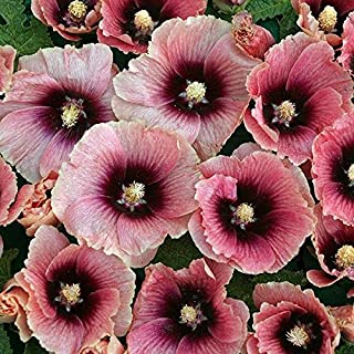 3 Pack of 15 Flower Seeds Halo Apricot Hollyhock Seeds