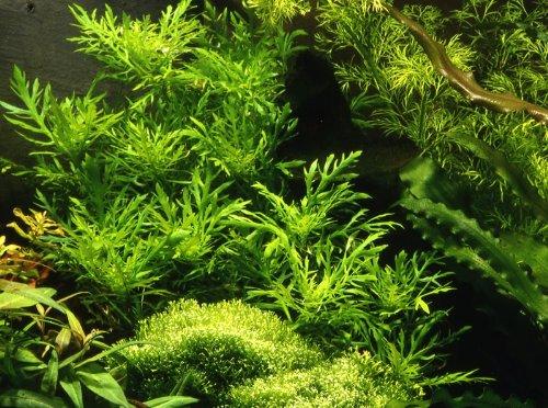 Indischer Wasserstern / Hygrophila Difformis - 1 Bund