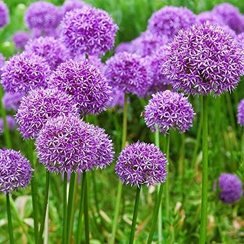 Befestigung 5 Stück Lila Allium...