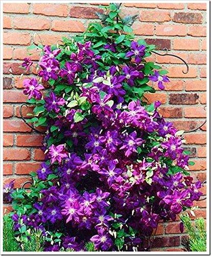 Green Seeds Co. 2 pezzi di bulbi di clematide rampicante, bulbi di clematide piante da giardino, perenni piantine di bulbi di fiori rari per fioriera: 3