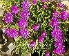 AGROBITS 100 pc/Bag Sale! Delosperma Cooperi Table Mountain Tasty facile Bonsai vegetale giardino domestico di DIY Pianta che cresce #2