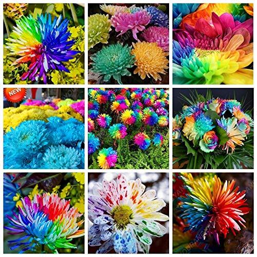 Elitely 100 Teile/beutel Regenbogen Chrysantheme Samen Ornamental Blumensamen Seltene Bonsai Samen Diy Hausgarten Blume: Mix