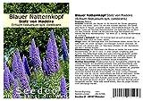 Seedeo Blauer Natternkopf Stolz von Madeira (Echium fastuosum syn. candicans) 50 Samen