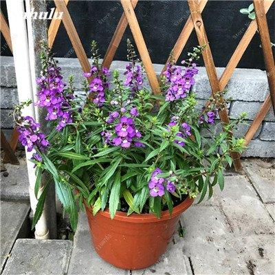 100pcs Belles aromatiques gypsophile Graines vrai étoilées fleurs en pot Gypsophila paniculata All Over The Sky Étoile Bonsai Fleur 17