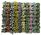 Shop Succulents | Soft Hue Collection | Assortment of Hand Selected, Fully Rooted Live Indoor Pastel Tone Succulent Plants, 100-Pack