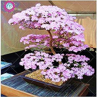 Bonsai japonés árbol de Sakura Semillas Semillas raras japonesas flores de cerezo Flores en bonsai, Rosa Prunus serrulata ...