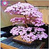 Bonsai japonés árbol de Sakura Semillas Semillas...