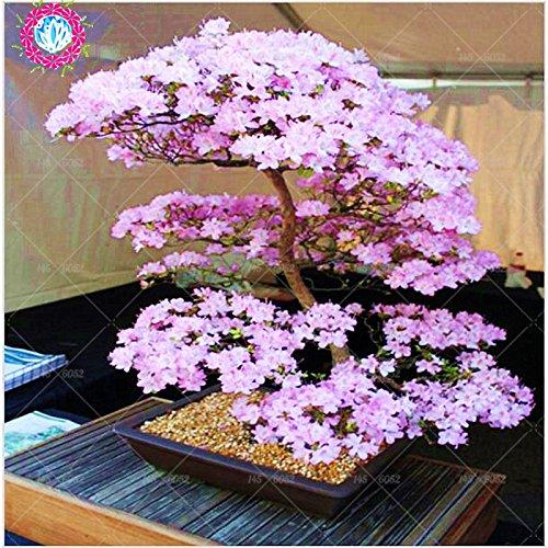 Bonsai-Baum Japanische Sakura Samen Seltene japanische Kirschblüten-Blumen-Samen in Bonsai, Rosa Prunus Serrulata 10 Samen / pack