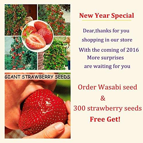 100pcs Wasabi Seeds envoyer 300strawberry cadeau graines, semences raifort japonais Semences potagères Plantes Bonsai bricolage jardin des plantes