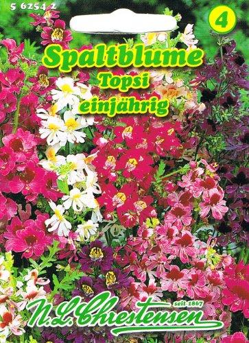 Spaltblume Topsi Schizanthus wisetonensis