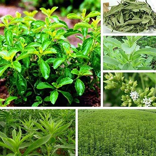 30pcs / lot Stevia rebaudiana Graines sweetleaf diabétique sucre naturel de remplacement herbes Graines Bonsai Plante Diy jardin