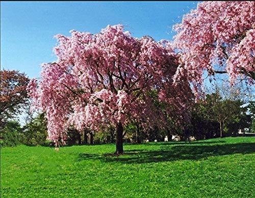 ASTONISH Seeds Pacchetto: 5 semi di salice rosa albero piangendo fiore gigante pieno paesaggio fiorito.