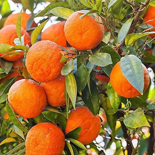 20 Stück Zitrusfrüchte Stauden Erbstück Köstliche süße Mandarine Frische Orange Obstbaum Samen Einfach zu pflanzen Hausgarten Balkon Dekorieren
