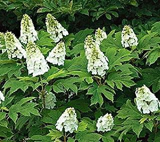 snow queen oakleaf hydrangea