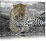 schöner Leopard liegt im Laub schwarz/weiß auf Leinwand,