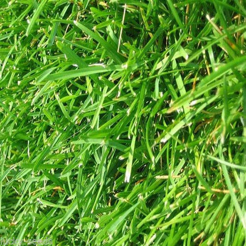 One of the best grass to grow in Florida is Hancock's Common Bermuda Grass #grass #lawn #backyardLandscaping #backyardLandscapingIdeas #landscaping