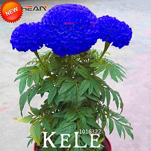 Hot Sale! Graines Bleu Maidenhair fleurs en pot Herb Garden Marigold Chrysanthemum Bonsai Seeds 50 graines / lot, # I8XTIA