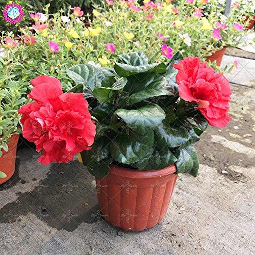 100PCS géant pétales de double graines d'hibiscus rares graines d'hibiscus bleu graines de fleurs Bonsai Plante vivace à l'intérieur pour le jardin à la maison 4