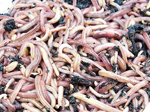 KOMPOSTWÜRMER kaufen - 1500 Stück/Eimer - Kompoststarter Regenwurm Set - Gartenwürmer/Regenwürmer Eisenia-Mix lebend - aktive Würmer für Kompost, Komposter, Wurmkomposter, Wurmkiste und Wurmfarm