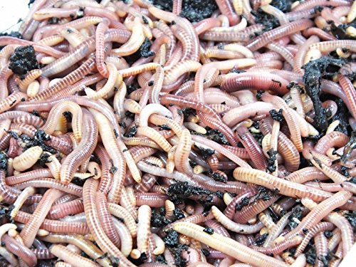 KOMPOSTWÜRMER kaufen - 6000 Stück/Sack - Kompoststarter Regenwurm Set - Gartenwürmer/Regenwürmer Eisenia-Mix lebend - aktive Würmer für Kompost, Komposter, Wurmkomposter, Wurmkiste und Wurmfarm