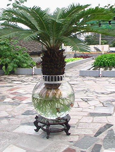 Seulement 1 Pcs graines Cycas en pot balcon plantation sac en pot semences de fleurs cycas bonsaï arbre pour la semence de la maison jardin