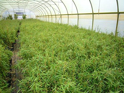 Garten Bambus Fargesia murieliae 'Jumbo' 30-40cm im Topf gewachsen