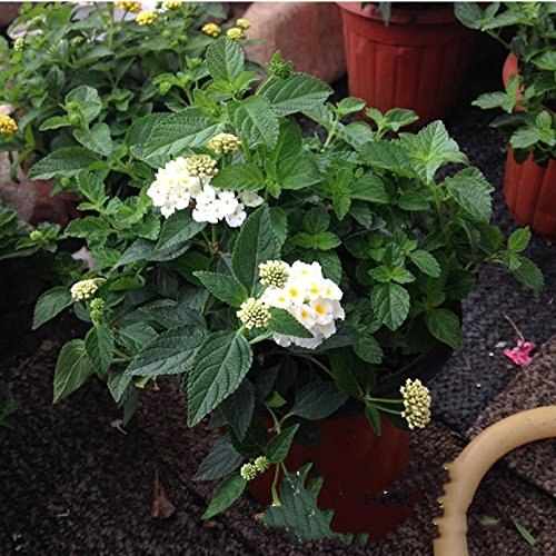 New Lantana Camara en pot Graines 50Pcs / sac Fleurs rares pour le jardin Plantation d'Fleurs Bonsai Semillas de Flores Livraison gratuite 10