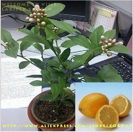 Graines de fruits Semences de tomate Vert Jument s peut être Pot douce et 2 g de autour de 200 grains