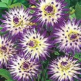 Rare 100pcs Giant Dinnerplate Dahlia American Dawn Dahlia Flower Easy to Grow, Exotic Flower Seeds Hardy Perennial