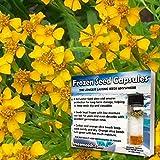 Sweet Marigold Seeds (Tagetes lucida) 20+ Medicinal Herb Seeds + FREE 6 Variety Seed...