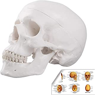 Best infant skull model Reviews