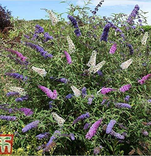 Beautytalk-Garten Schmetterlingsflieder Blumensamen Buddleia-Blüten duftend Blumen Saatgut winterhart mehrjährig für Balkon/Garten