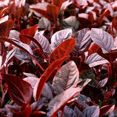 Gemüse-Amarant - Rotblättriger Fuchsschwanz - Amaranth Red Army - 1000 Samen