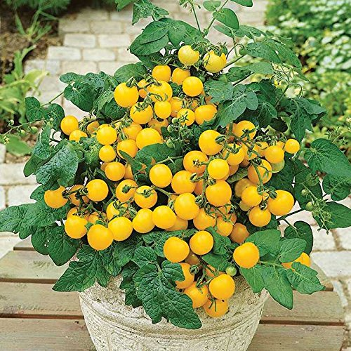 5 paquets de 25 graines Sutton- Graines Heirloom tomates biologiques