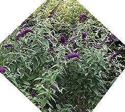 Black Knight Butterfly Bush ( buddleia ) - Live Plant - Quart Pot