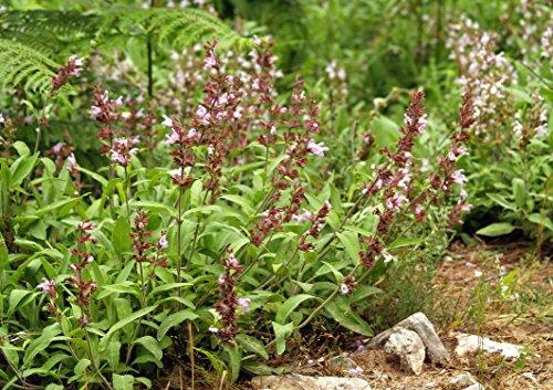 Asklepios-seeds® - 2500 Semillas Salvia officinalis salvia, celima, hierba del mudo, hormigón de España, madreselva, salima, salima fina, salvia blanca