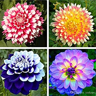 Cicitar Garden- 20pcs Rare Decorative Dahlia Ball Dahlia Flower Easy to Grow, Exotic Flower Seeds Hardy Perennial