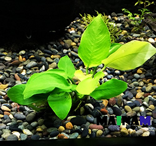 Mainam Anubias Nana Golden Rhizome Live Aquarium Plants Decorations