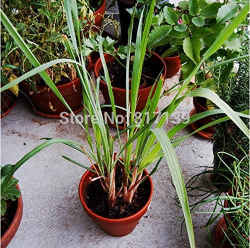 Súper Inicio Jardín real 10 Semillas Semillas de hierbas limoncillo hierba de limón Vegetable Seeds ornamental Cymbopogon flexuosus