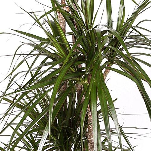 Dracaena Marginata - Maceta 17cm. - Altura aprox. 80cm - 2 Troncos - Planta viva - (Envío sólo a Península)