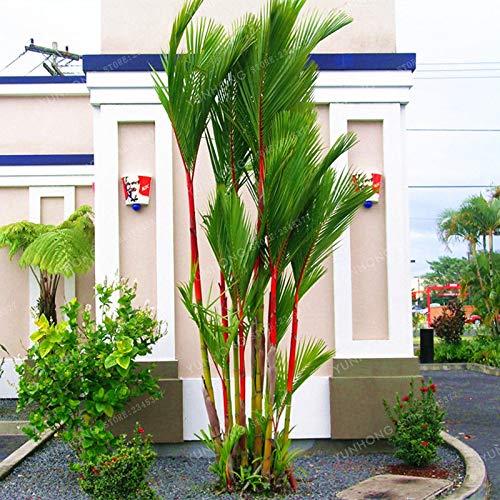Ferry 10 Red Siegellack Palm Lippenstift Palm -Cyrtostachys Renda- Frische Baumsamen