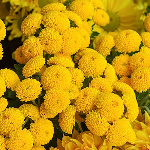 Mutterkraut Golden Ball Samen - Chrysanthemum parthenium) fl. pl. Goldball