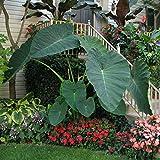 Live Bulbs Colocasia gigantea Thailand Giant Thai Giant Elephant Ear Huge Leaf (3 Bulbs)