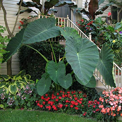 Live Bulbs Colocasia gigantea Thailand Giant Thai Giant Elephant Ear Huge Leaf...